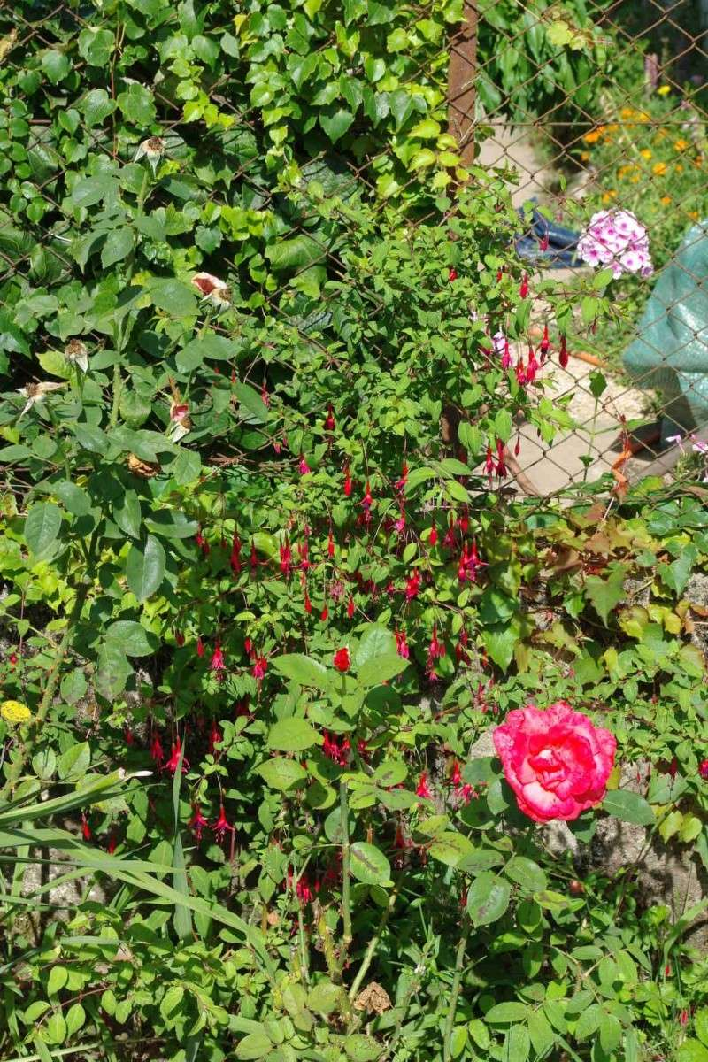 Le jardin de veyrins entrez page 7 au jardin forum de jardinage - Bouture de l hibiscus de jardin ...