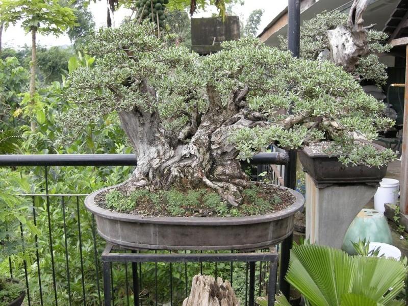 bonsai - Casuarina Equisetifolia (Cemara Udang or Mu Ma ...