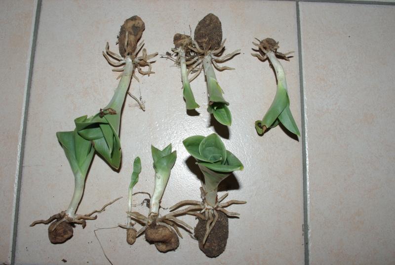 orchidee sauvage en pot